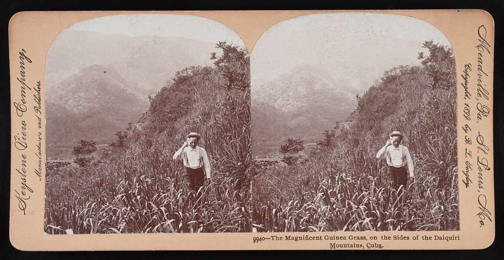 The magnificent guinea grass, on the sides of the Daiquiri Mountains, Cuba