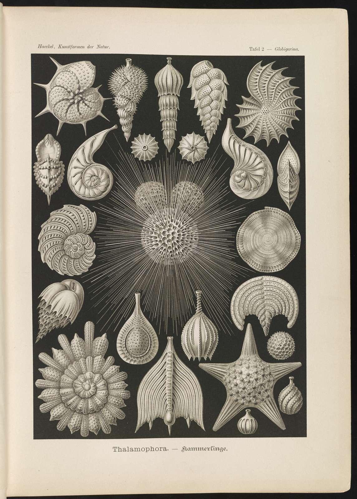 Thalamophora. - Kammerlinge