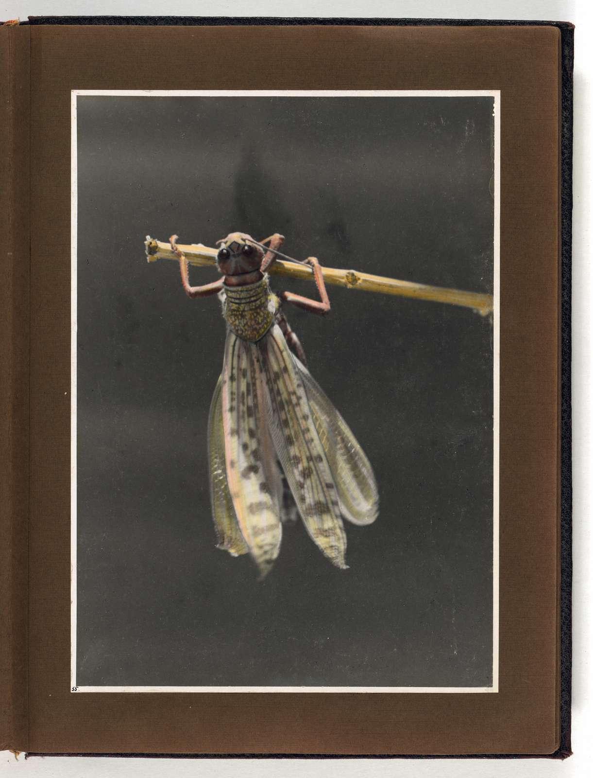 Photograph album, Locust plague of 1915