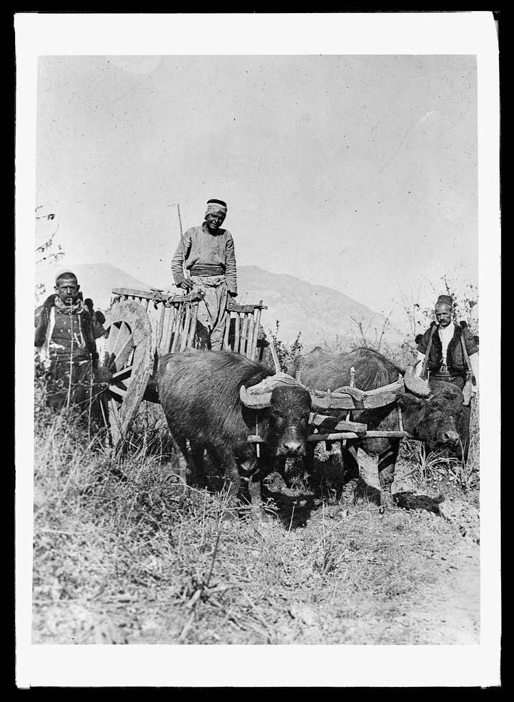 """Rushing aid to Albanians: Trusty bullock carts are the sole means of """"rushing"""" aid to pestilence spots in the Albanian mountains, A.R.C. workers have found. Scores of little villages are reached by roadways that no motor truck should negotiate. Slow, patient, and wonderfully strong, these huge water buffalo pull the entire load of a heavy cart by means of a yoke which throws all the weight on their necks. The driver guides them with a short stick and a picturesque vocabulary"""