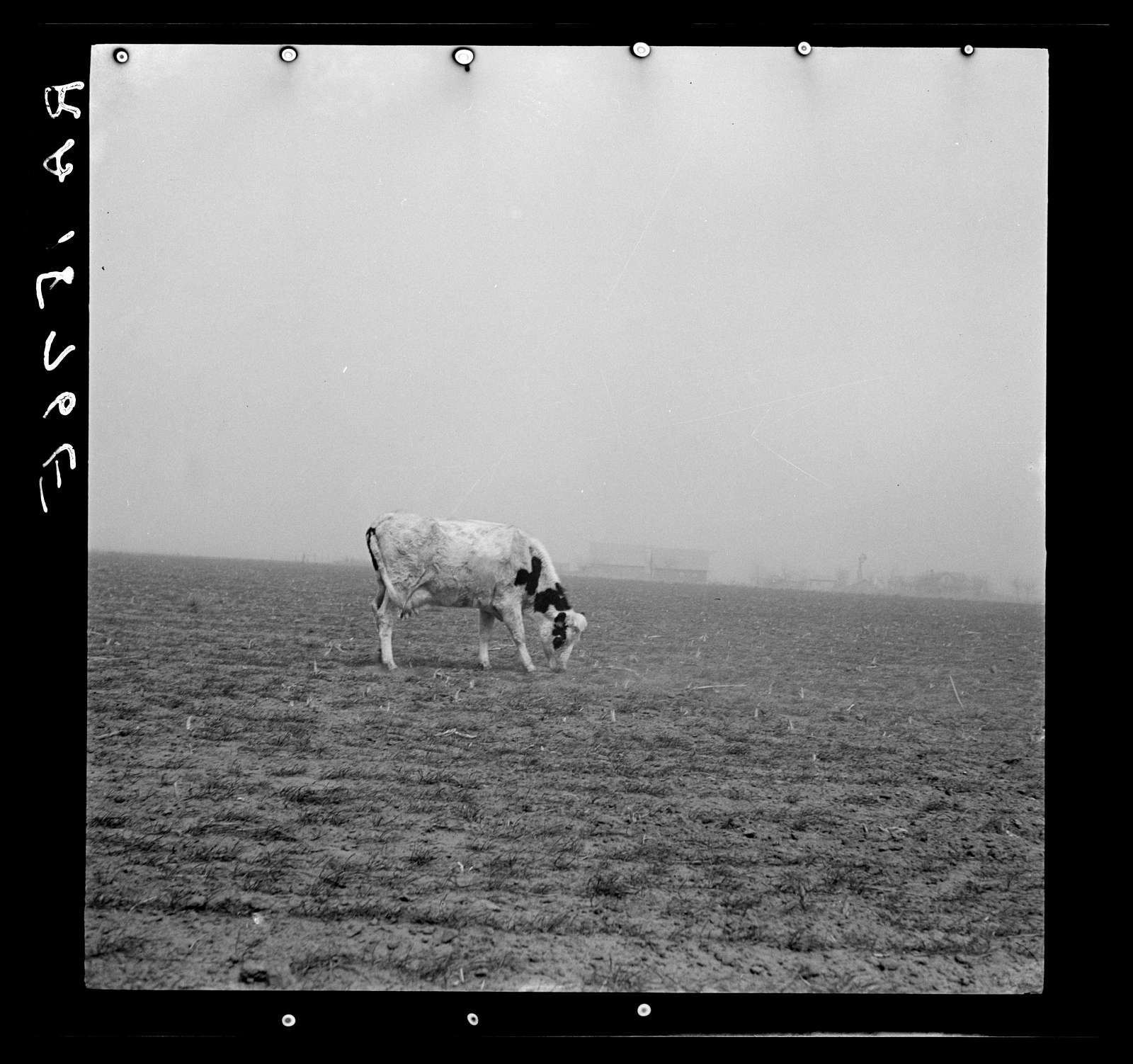 Cow trying to graze on the windswept pasture of a farm in Ford County, Kansas