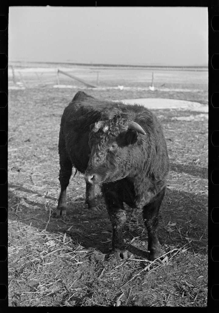 Untitled photo, possibly related to: Part of shorthorn cattle herd belonging to G.H. West near Estherville, Iowa