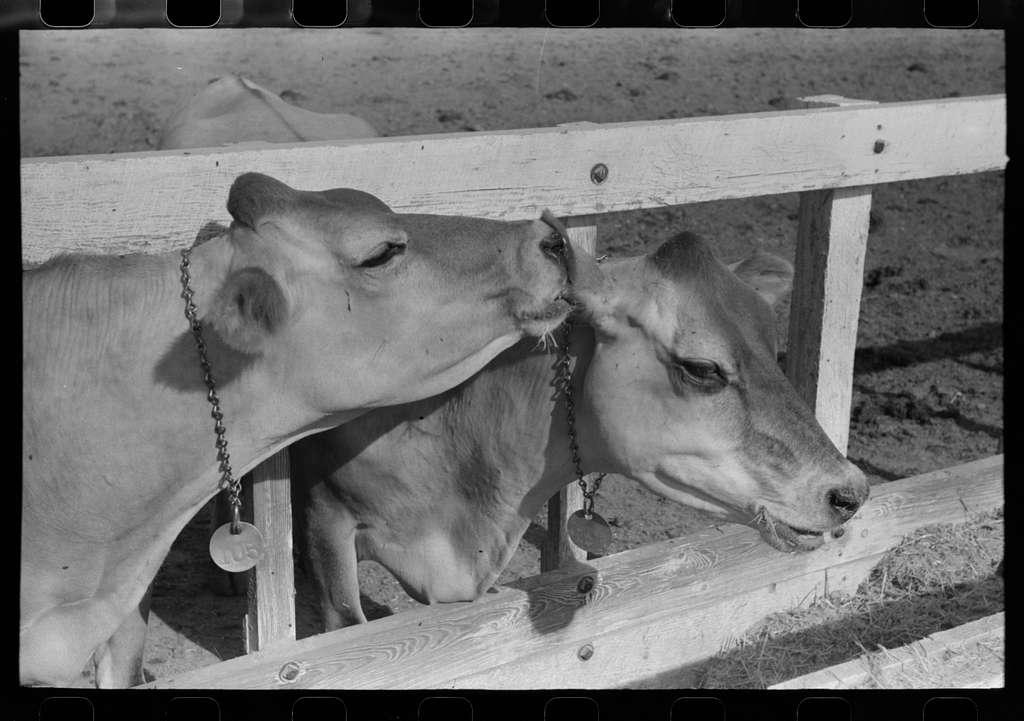 Dairy cattle at Casa Grande Valley Farms, Pinal County, Arizona