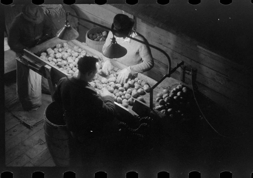 Grading potatoes at the Woodman Potato Company, one of the largest in Caribou, Maine