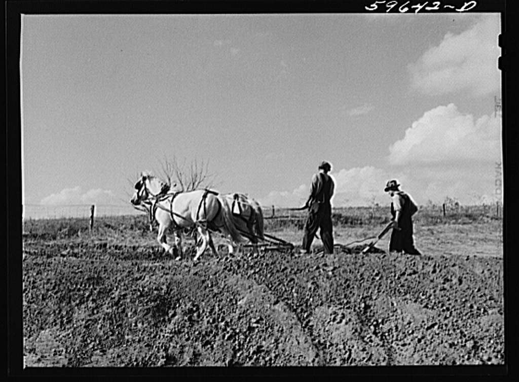 Hired help building a dam for a reservoir to water cattle and livestock on Tom Reed farm. Lexington, Nebraska