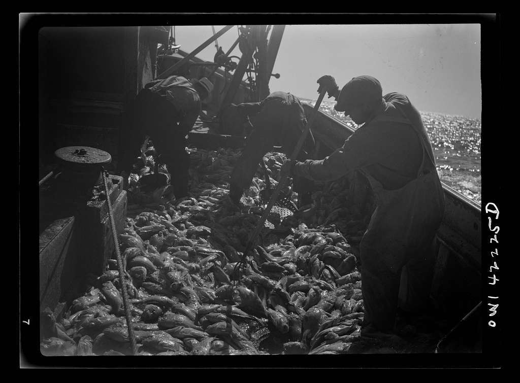 "Gloucester, Massachusetts. Immediately after being caught, rosefish are shoveled into the hold for packing in ice. Once called ""goldfish"" because of their brilliant color, the fish are finding a ready market because of their manifold uses--as food for human, as fish meal and fish oil"