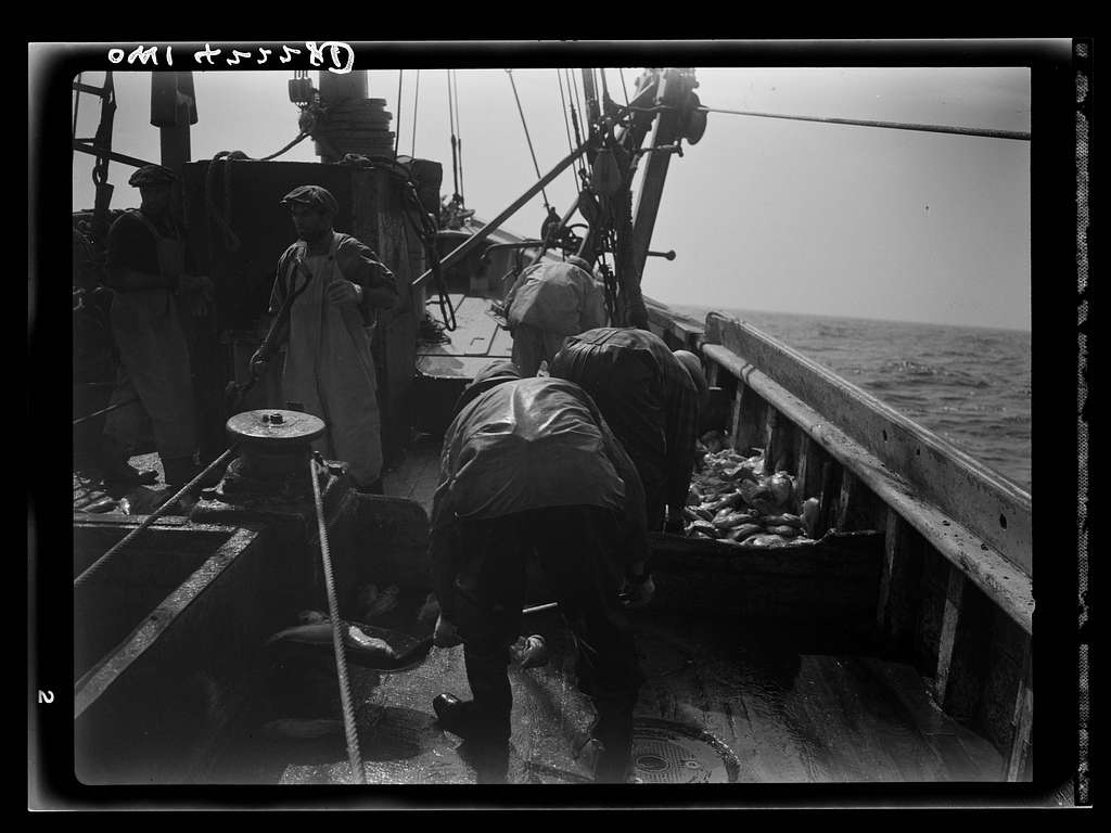 Gloucester, Massachusetts. Striking good fishing grounds, fishermen load their boat with rosefish. Only a thin slice from each side of the rosefish is useable as food. Fish meal and fish oil are made from the remaining parts