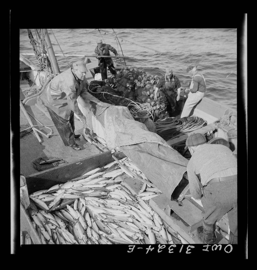Fisherman taking on mackerel aboard the Alden. Gloucester, Massachusetts