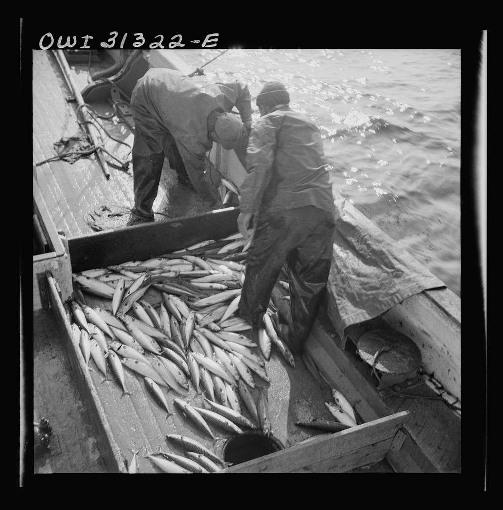 Mackerel fishing, Gloucester, Massachusetts. Raking mackerel into the ice hole