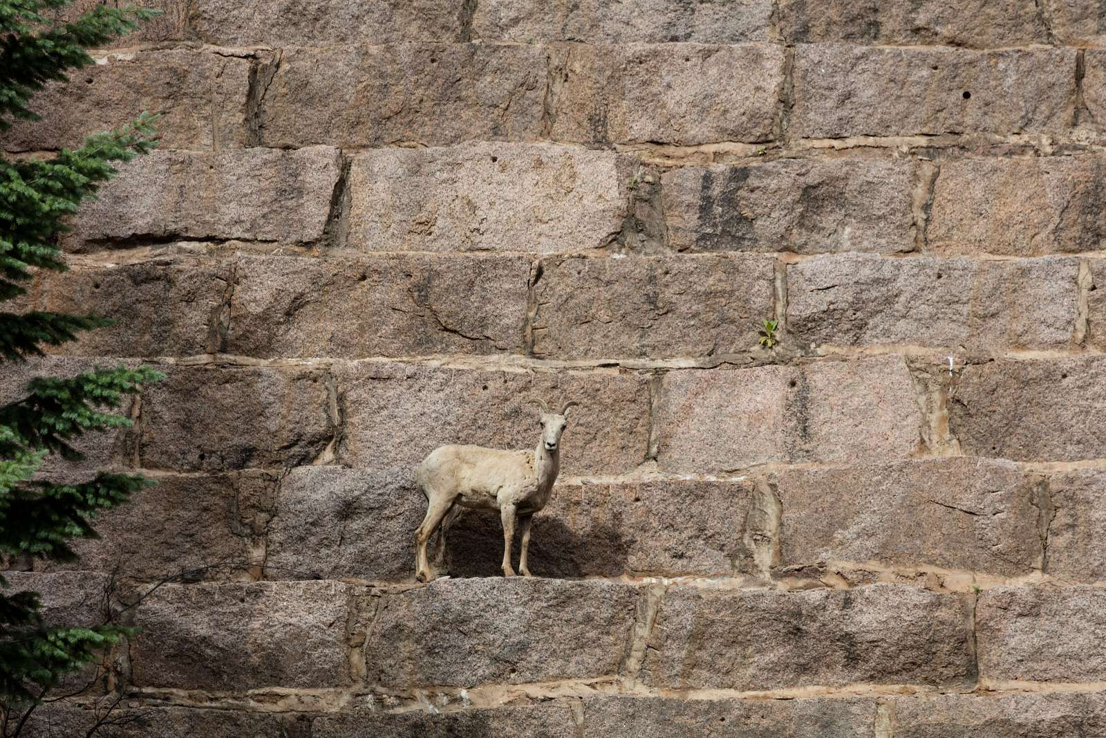 This is not a work of art, but it could be. It's a Rocky Mountain bighorn sheep, almost posing on the very wall of Cheesman Dam, one of the dams that slows and captures water from the South Platte River for use as part of Denver's drinking-water supply. Dam workers say the nimble sheep rightly feel protected from predators there. Cheesman Dam, which was named for Walter Scott Cheesman, a Denver druggist, railroad builder, and designer of water infrastructure, was the world's tallest at 221 feet when it was completed in 1905