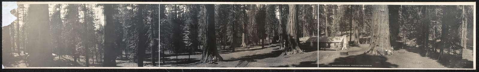 Panorama of Mariposa Big Tree Grove