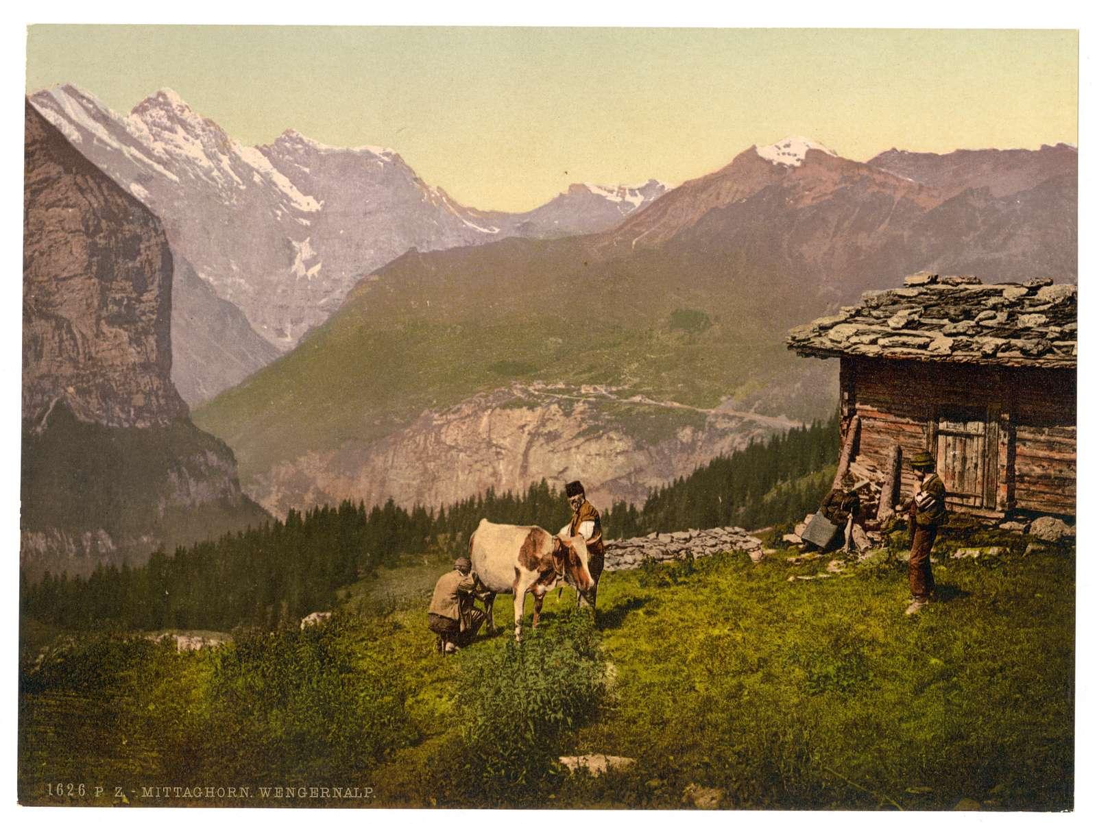 [Wengern Alp, cheese dairy, cowkeeper milking cow, Bernese Oberland, Switzerland]