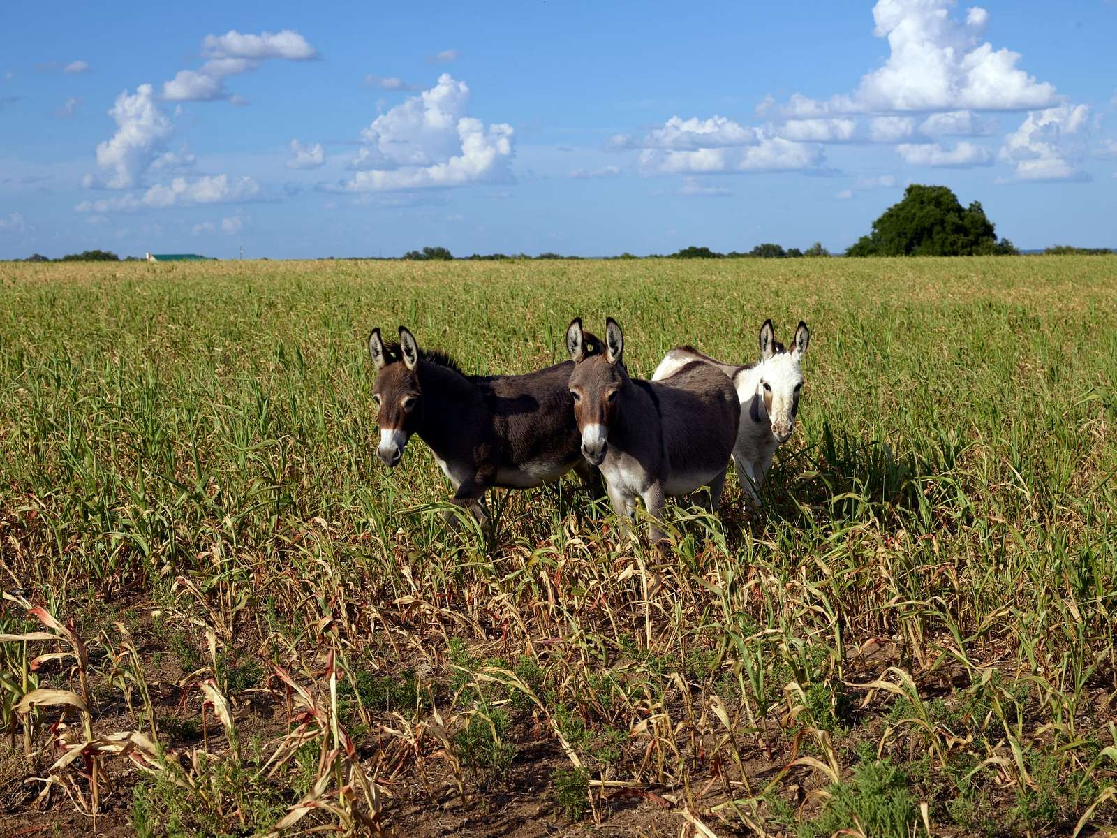 Donkeys in a field in Erath County, Texas
