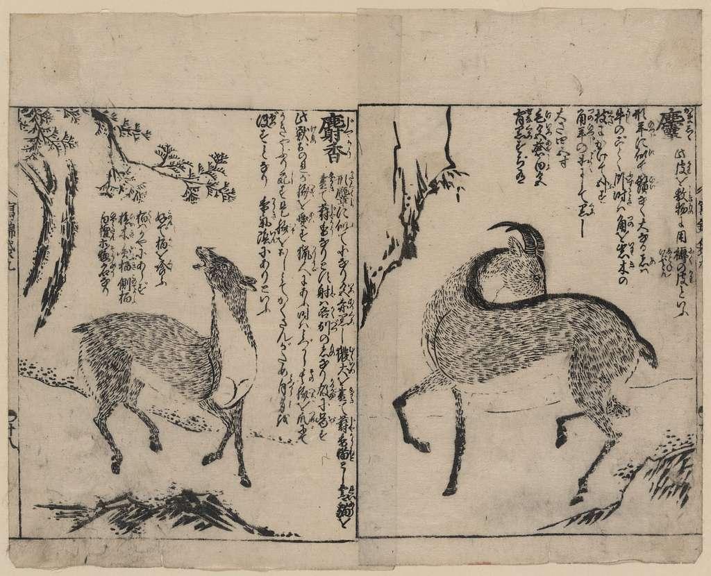 [Male and female musk deer]