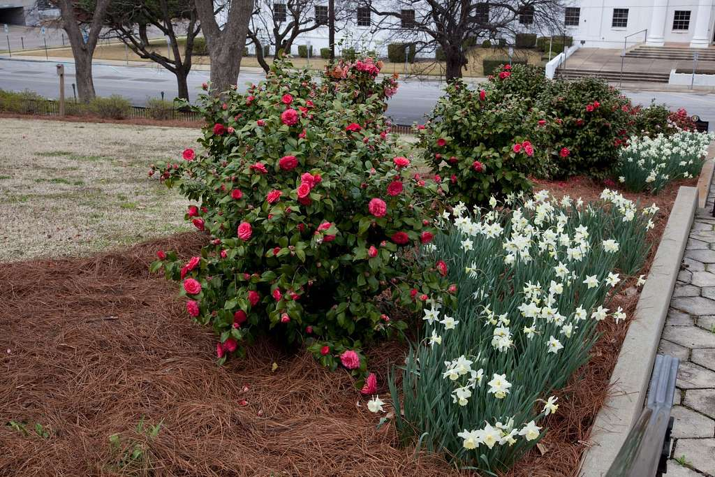 Camellias Which Are The Alabama State Flower Bloom In Profusion On The Capitol Grounds In Montgomery Alabama Picryl Public Domain Image
