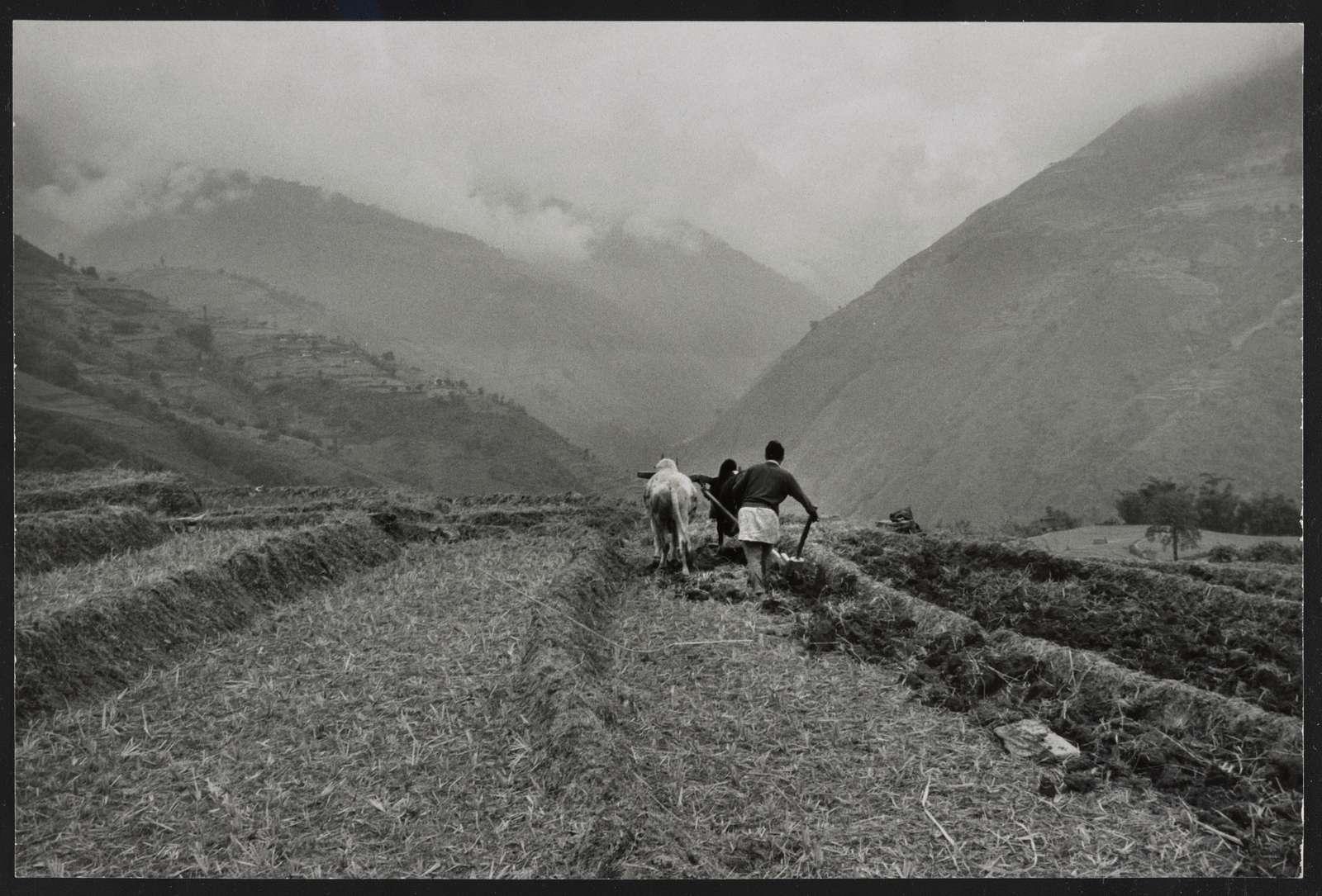 Sikkim, ploughing rice terraces / Alice Kandell.