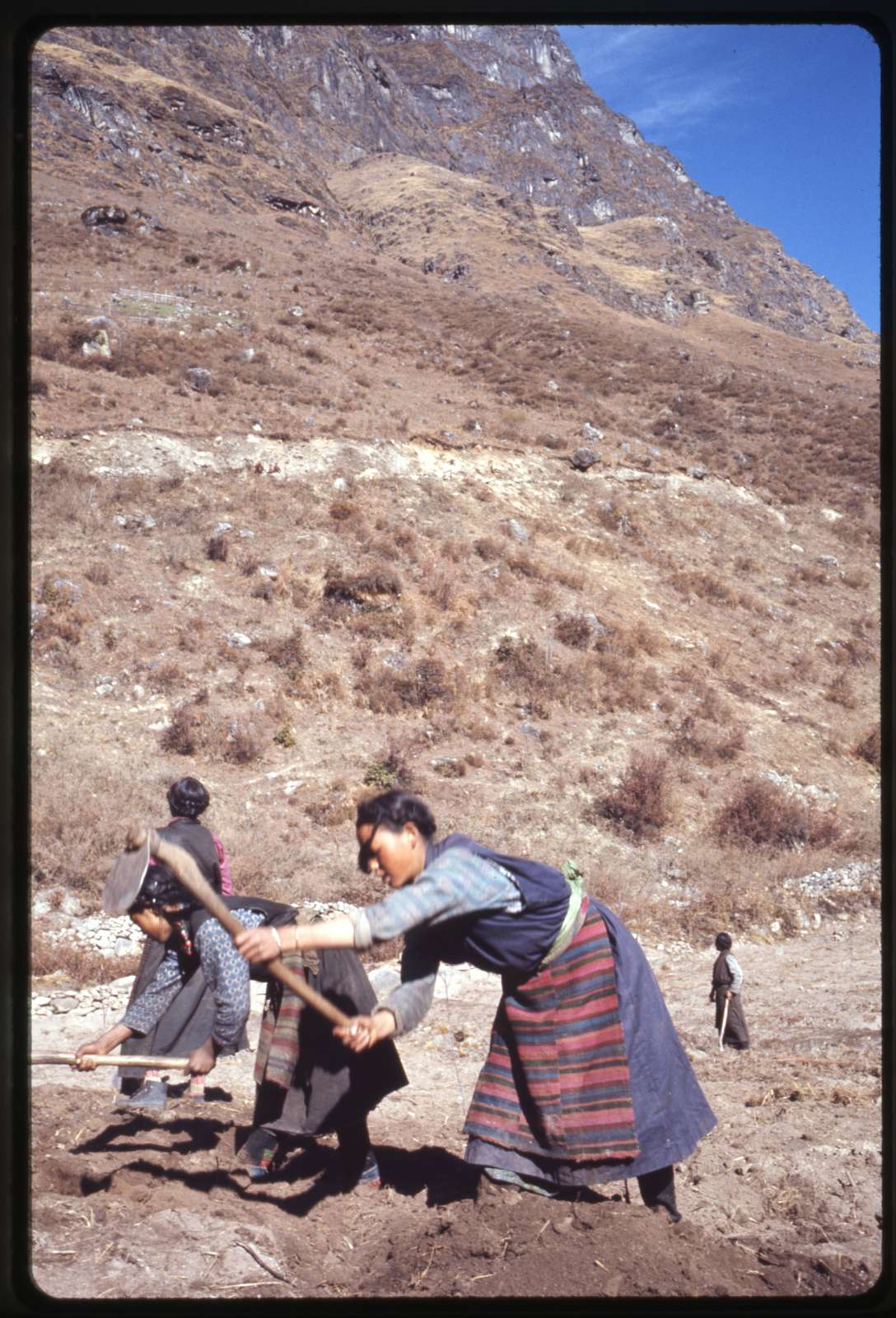 Old methods of farming: hoeing mountain fields, North Sikkim